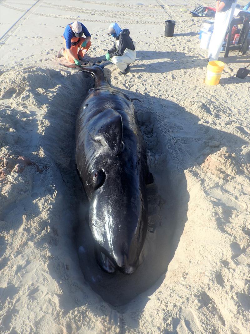 North Atlantic right whale calf