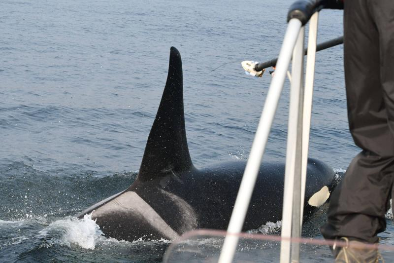 Biologists attaching a tag to a killer whale at sea