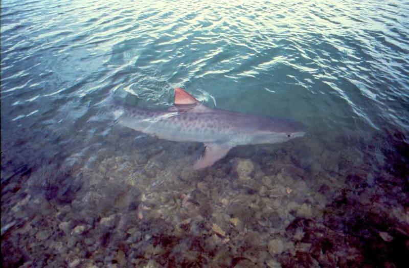 A tiger shark swims near the ocean surface. Photo: NOAA Fisheries