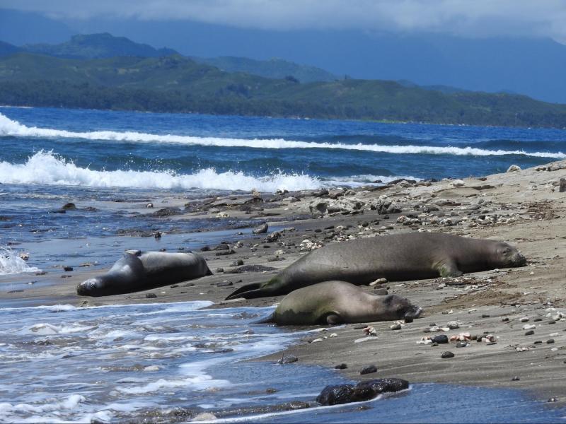 Three monk seals rest on a beach near each other