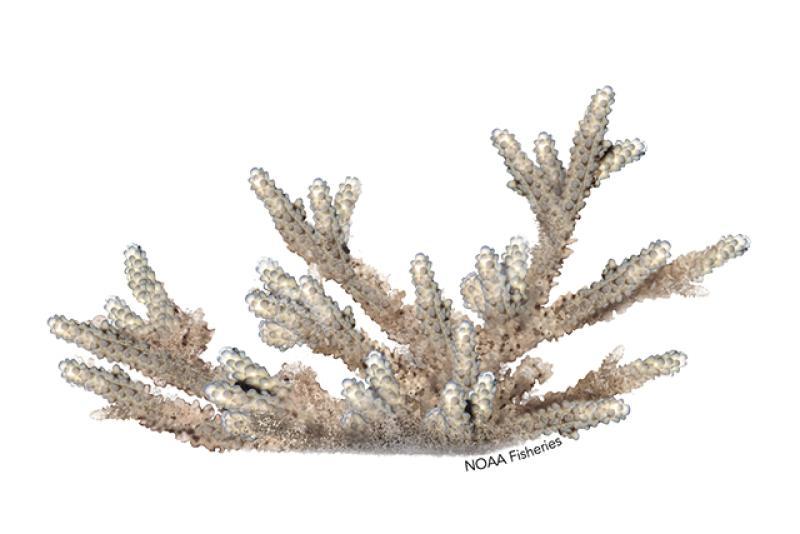 Acropora rudis coral illustration. Credit: Jack Hornady.