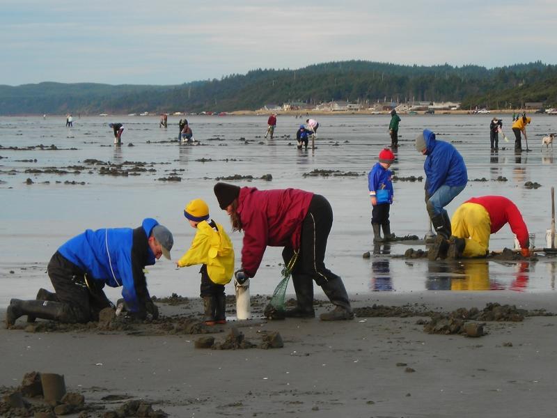 Dozens of warmly-clad beachgoers dig for razor clams on a beach on the Washington coast.