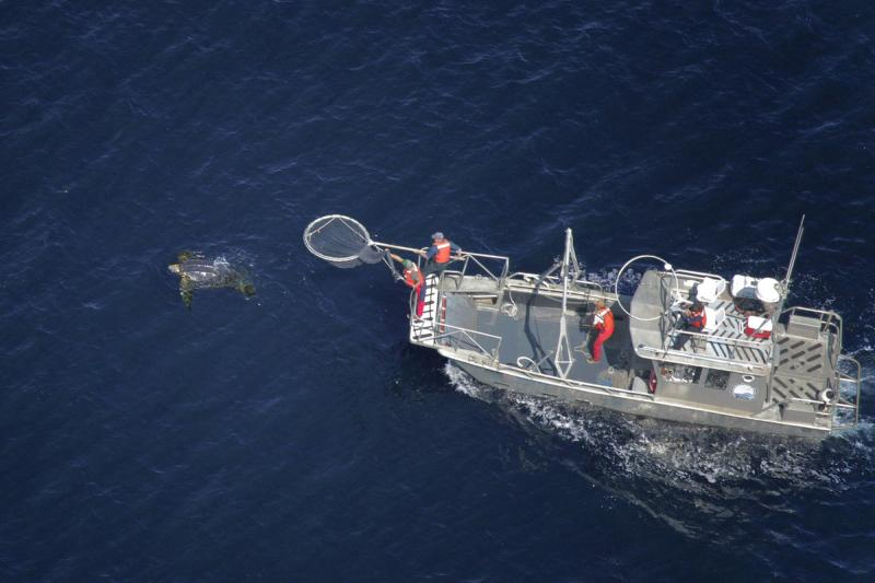 Scientists aboard a research vessel following a Leatherback turtle at sea