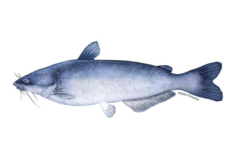 Blue catfish illustration. Credit: Jack Hornady