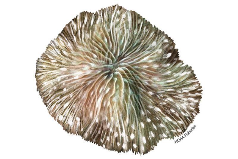 Cantharellus Noumeae coral illustration. Credit: Jack Hornady