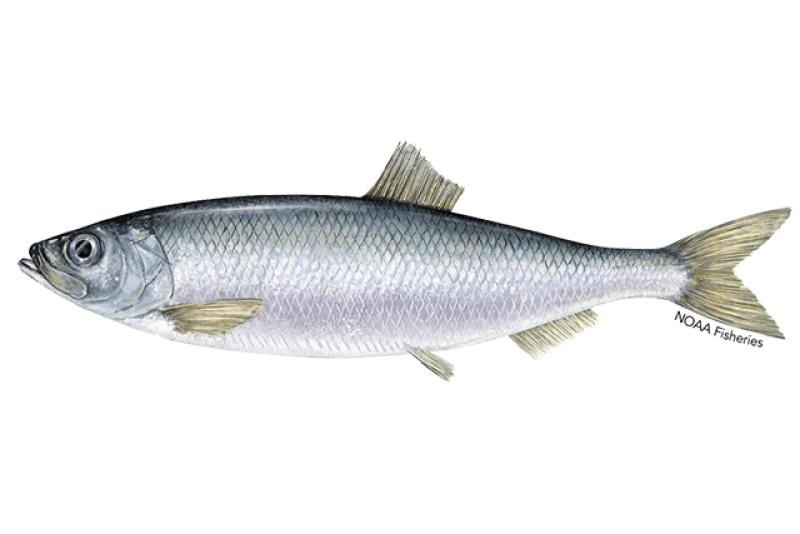 Pacific herring illustration. Credit: Jack Hornady.