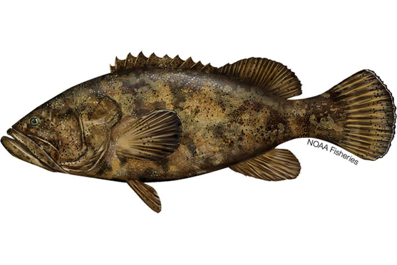 Illustration of goliath grouper
