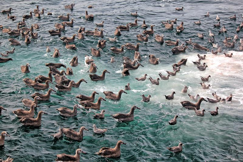 Seabirds in the water during a longline survey.
