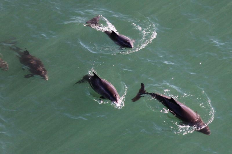 Aerial image of harbor porpoises swimming