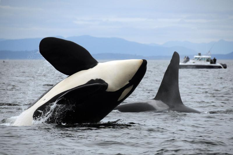 Killer whales in Puget Sound