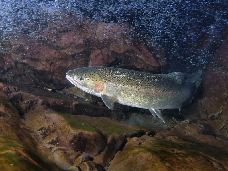steelhead salmon swimming in stream