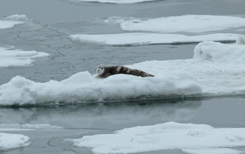 A bearded seal pup rests on sea ice. Credit John Jansen/NOAA Fisheries