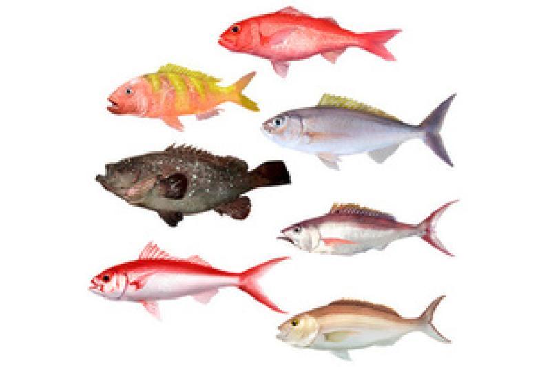 Illustration of the Deep 7 Bottomfish in the Main Hawaiian Islands.