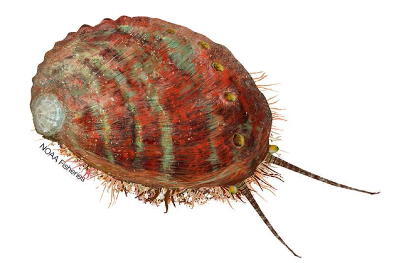 Pinto abalone illustration. Credit: Jack Hornady