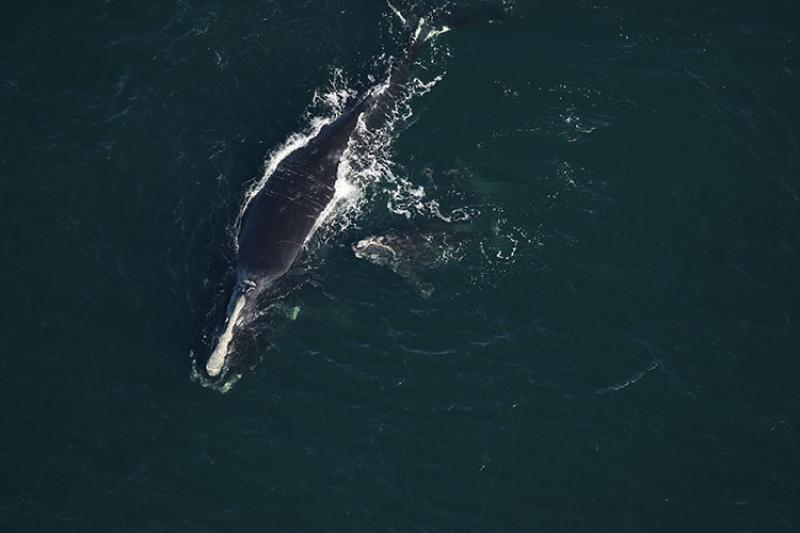 North Atlantic right whale Infinity and calf off Amelia Island