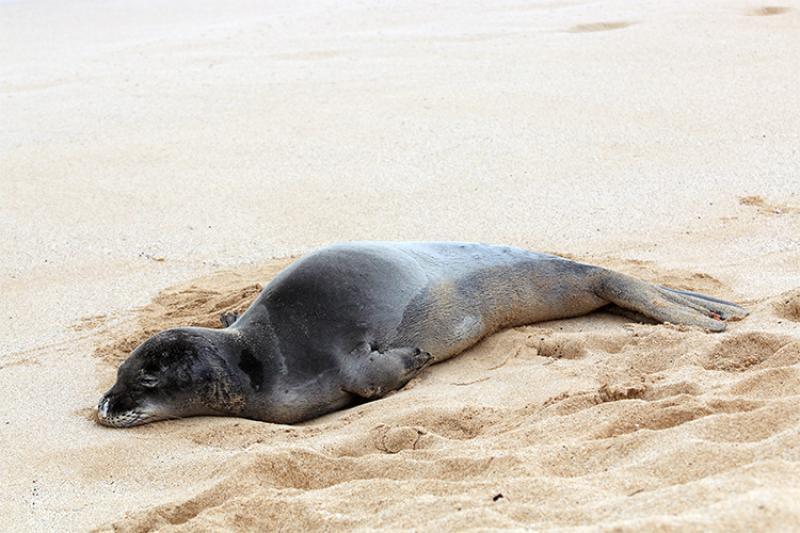 Hawaiian monk seal resting on the beach.