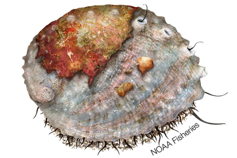 Pink abalone illustration. Credit: Jack Hornady