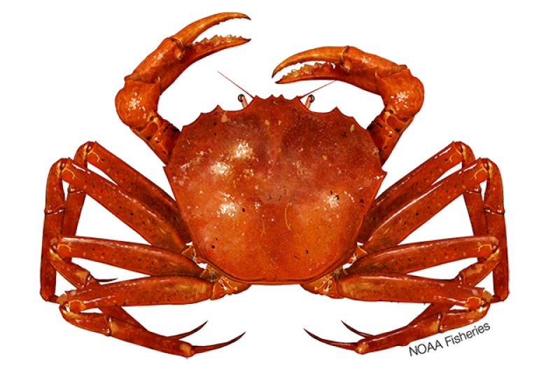 Illustration of an Atlantic deep-sea red crab. Credit: Jack Hornady