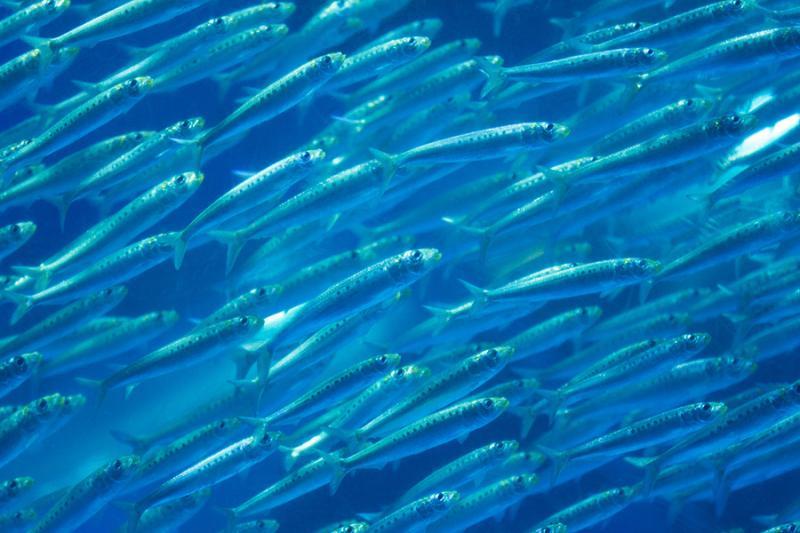 School of pacific sardine