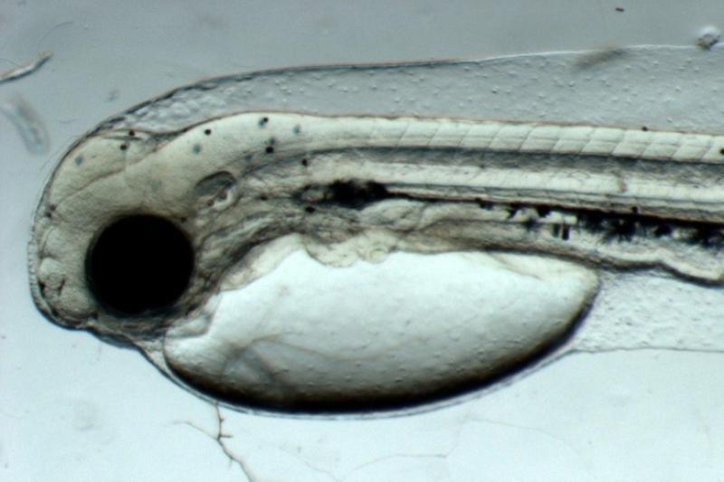 Magnified photo of Pacific cod yolk sac larva.