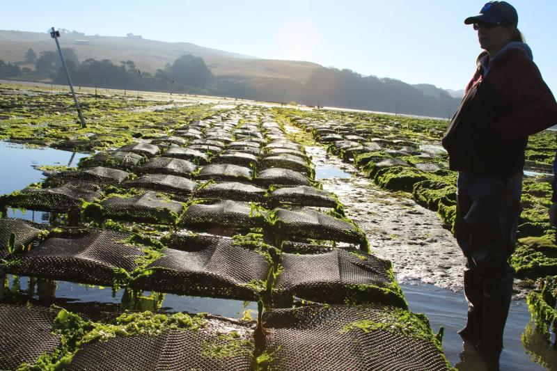 A NOAA Regional Aquaculture Coordinator (RAC) visits an oyster farm in Washington state.