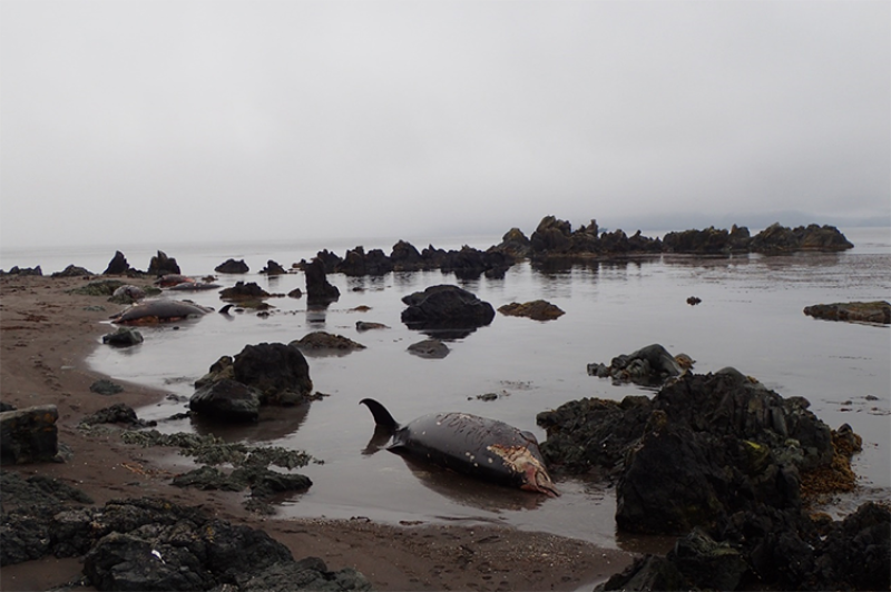Seven Stejneger's beaked whales that stranded at Palisades Point on Adak Island, Alaska.