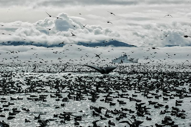 Photo of a humpback whale's tale fin, at waters surface, surrounded by seabirds and featuring a NOAA research vessel in the background.