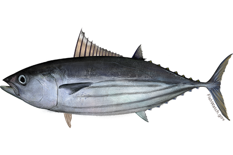 Pacific skipjack tuna illustration.