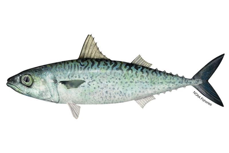 Atlantic chub mackerel illustration. Credit: Jack Hornady.