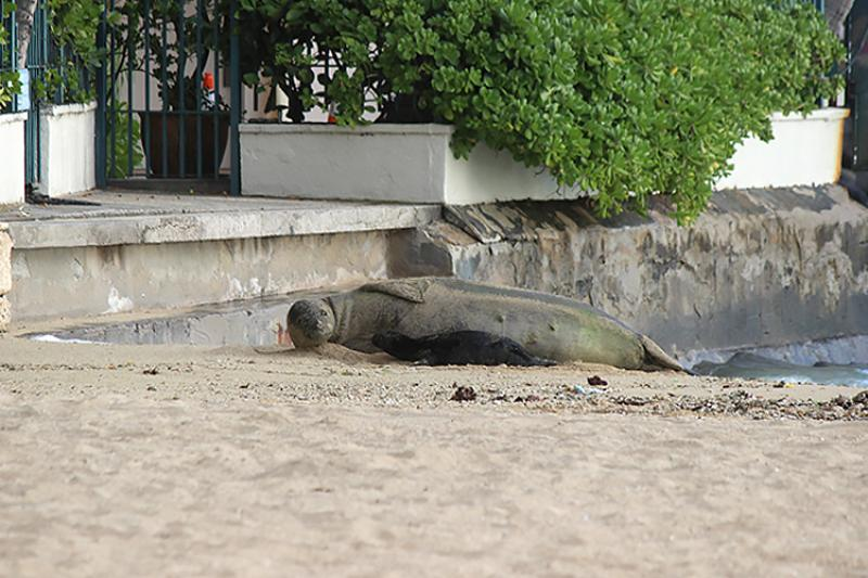 Adult monk seal and newborn pup on a public beach.