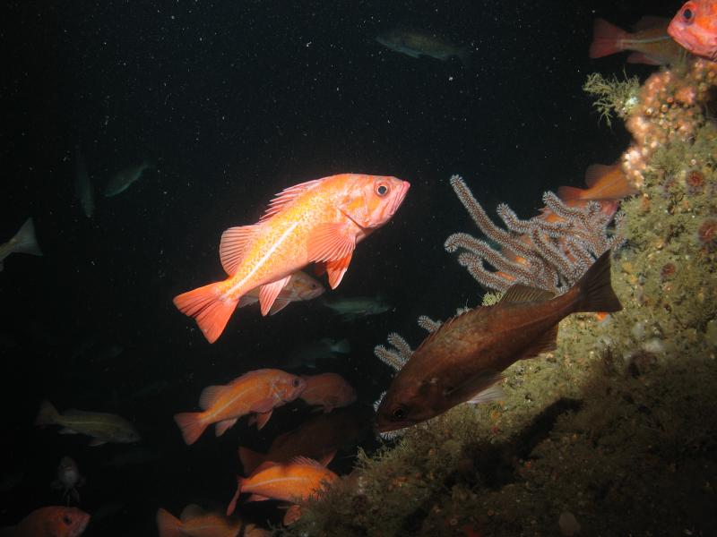 Vermillion rockfish with gorgonian coral on the northeast wall of Santa Cruz Canyon in Channel Islands National Marine Sanctuary.