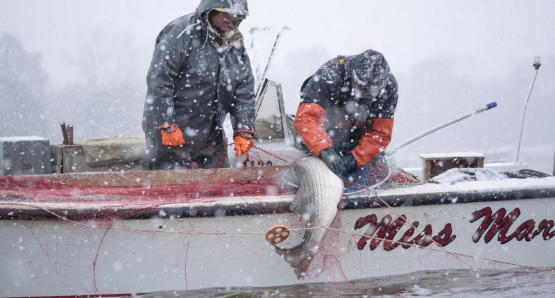Two fishermen work to pull a striped bass on board their boat as snow falls.