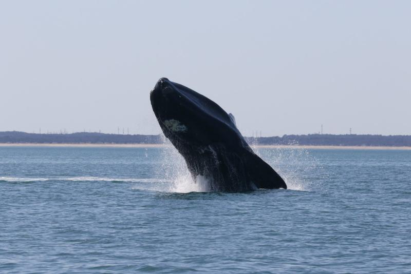 North Atlantic right whale breaks the surface of the water in Cape Cod Bay, Massachusetts. Photo: NOAA Fisheries/Alison Ogilvie