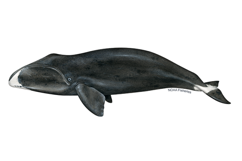 Bowhead whale illustration. Credit: Jack Hornady for NOAA Fisheries.