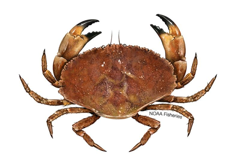 Jonah crab illustration. Credit: Jack Hornady