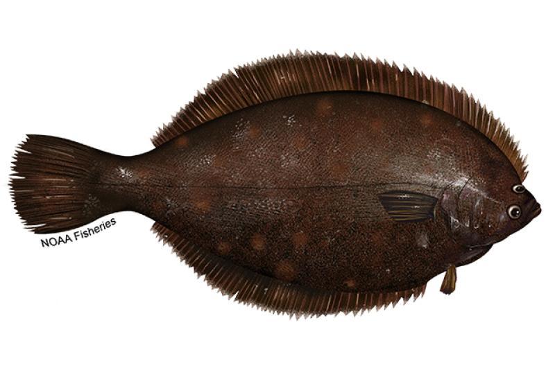 Winter flounder illustration. Credit: Jack Hornady