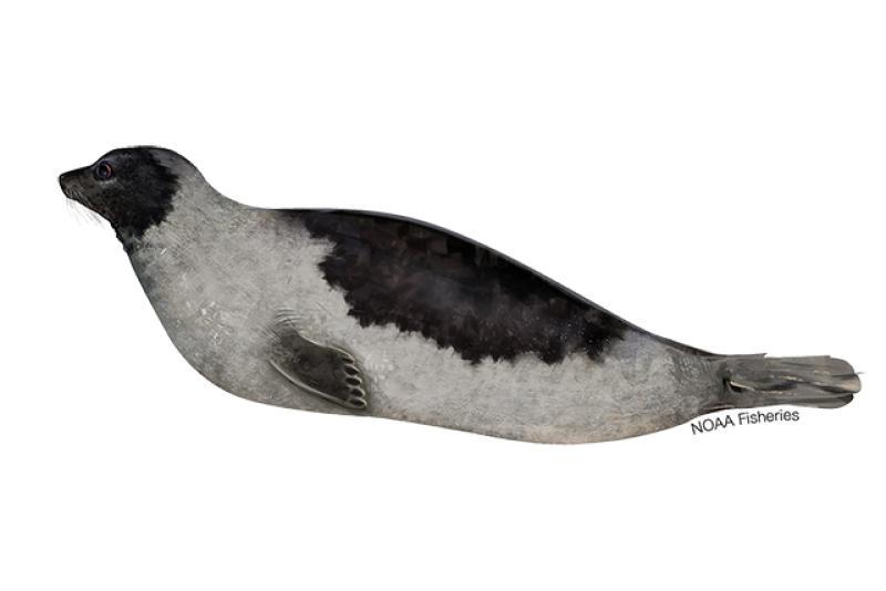 Harp seal illustration. Credit: Jack Hornady