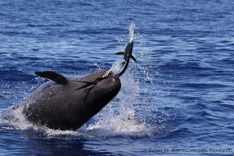 False killer whale catching fish above water.