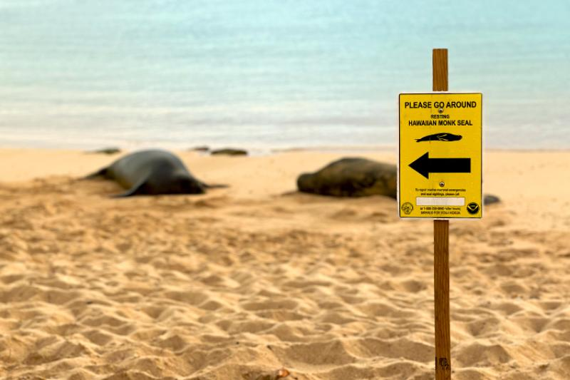 Hawaiian monk seal signage with two resting monk seals behind it on the beach.
