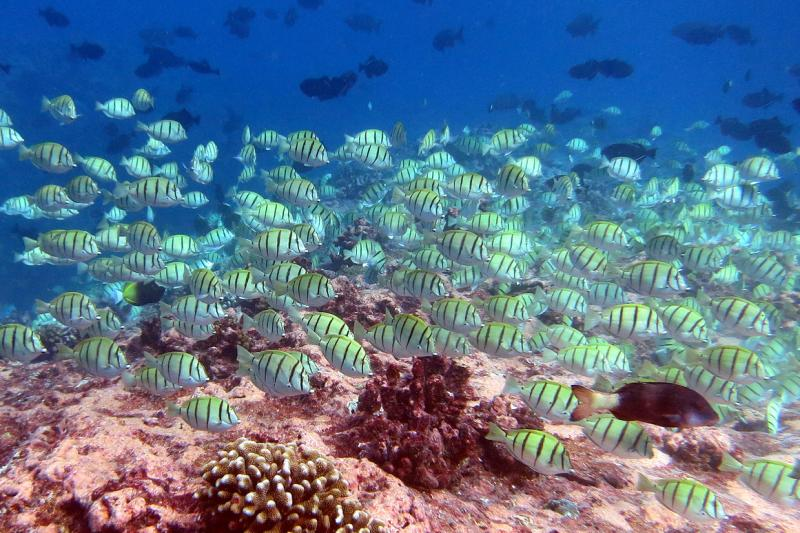 Convict tang swim above coral reef in Pacific Remote Islands