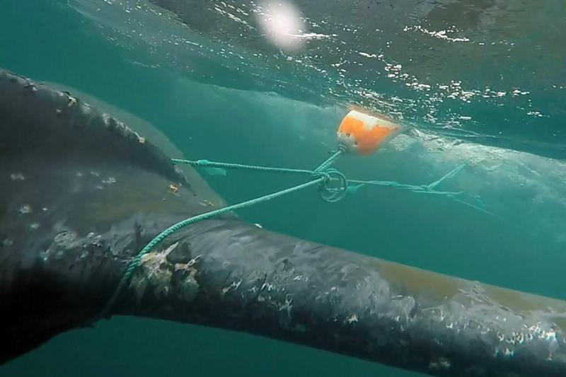 whale entangled in fishing gear