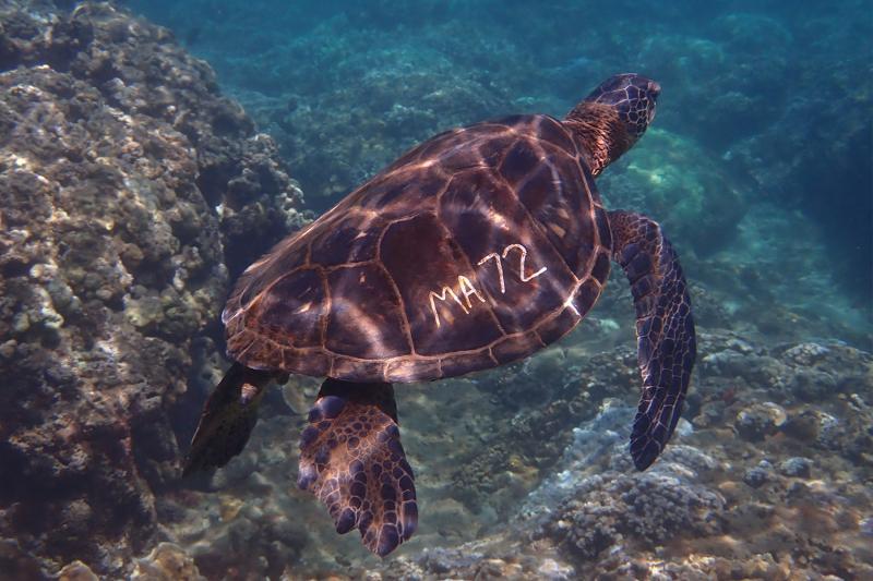 Marked green sea turtle swimming.