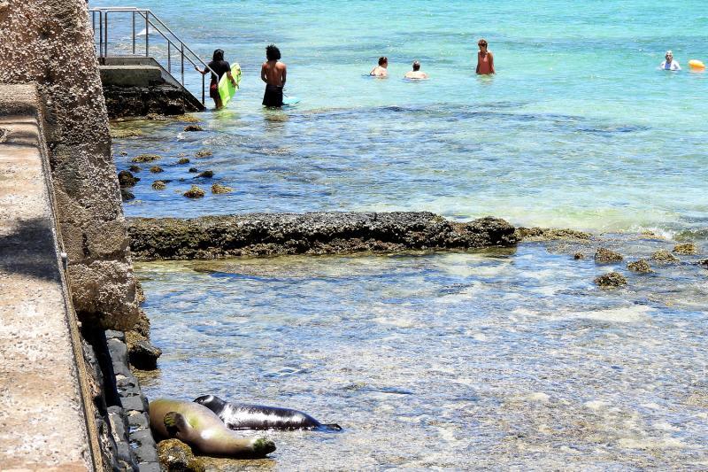 Two monk seals resting near rock walls on a on public beach.