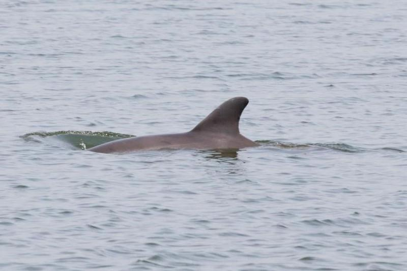 Dolphin swimming in canal in North Padre Island, Texas. Credit: Texas Marine Mammal Stranding Network.