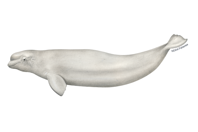Beluga whale illustration. Credit: Jack Hornady for NOAA Fisheries.