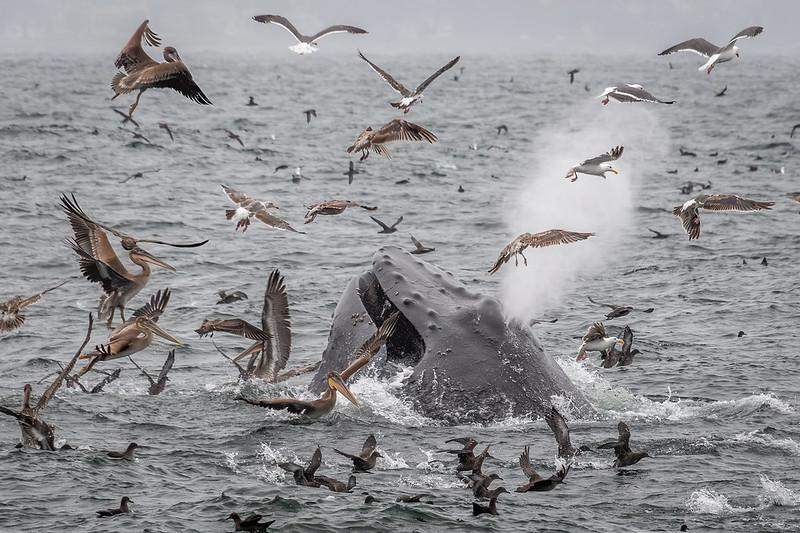 Humpback whale surrounded by seabirds at Monterey Bay National Marine Sanctuary