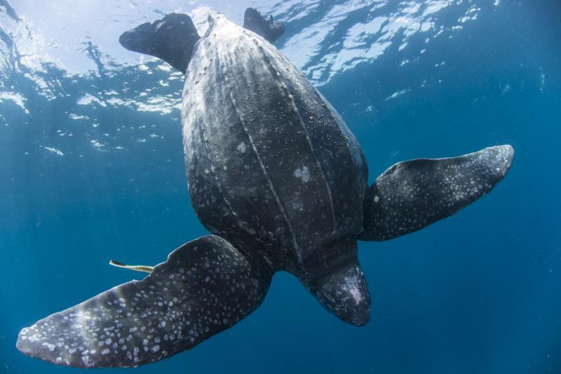 Leatherback turtle in the Kei Islands