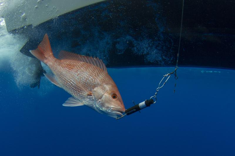 A fish under the surface next to a boat, with a fish descender device connected to its mouth to help guide it down.