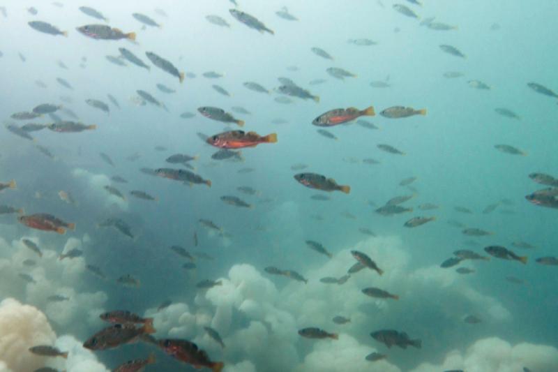 School of rockfish swimming underwater