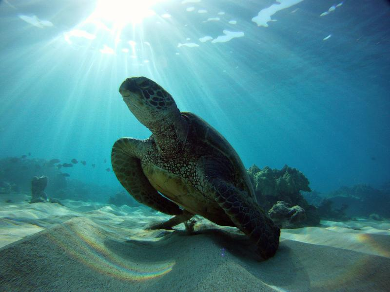 Green sea turtle resting underwater on sandy bottom with sun shining behind it.
